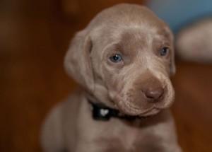 Haute Dog Puppy